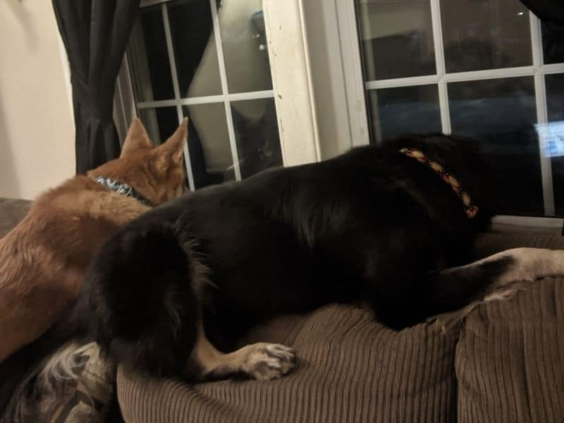 two dogs, one brown and one black, on the back of a couch looking out a window at night