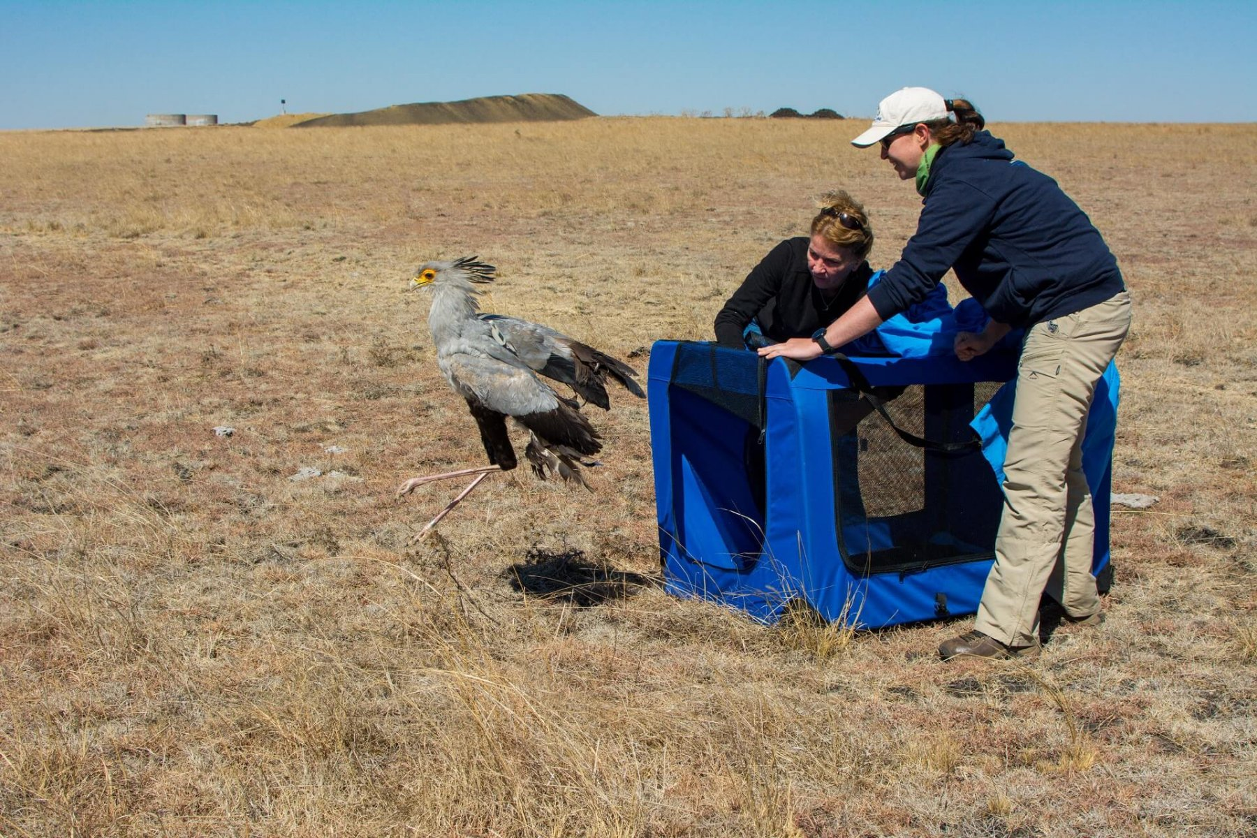 Melissa Howes-Whitecross releases a ringed Secretarybird after monitoring © Caroline Howes