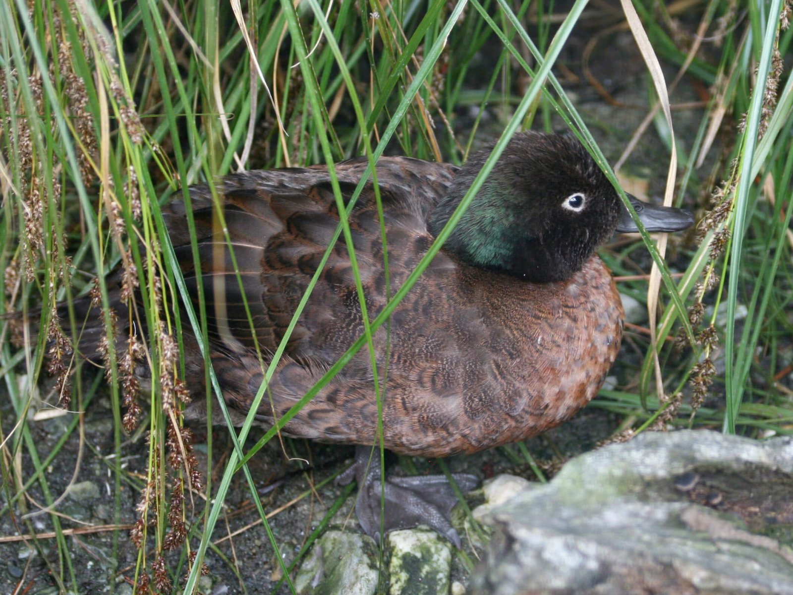 Invasive species control has made the Campbell Teal's habitat safe again © Dick Daniels