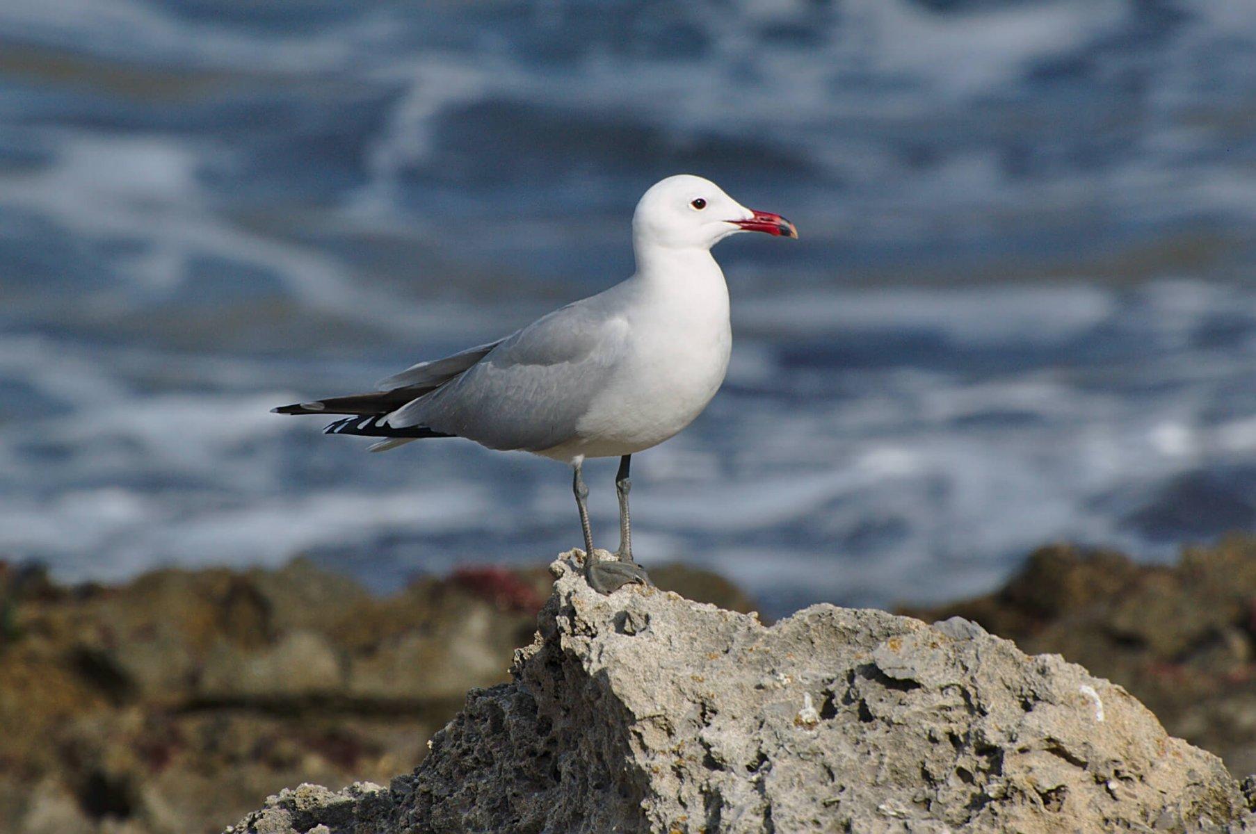 When predators strike, Audouin's Gull has nowhere else to flee to © Pintafontes