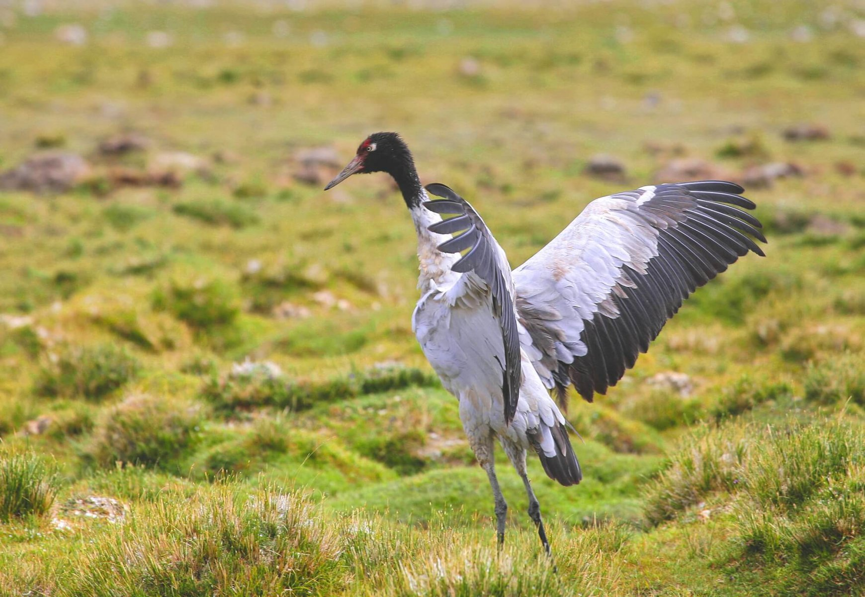 """Bhutan holds an annual """"crane festival"""" to help the Black-necked Crane © Candle Tree"""