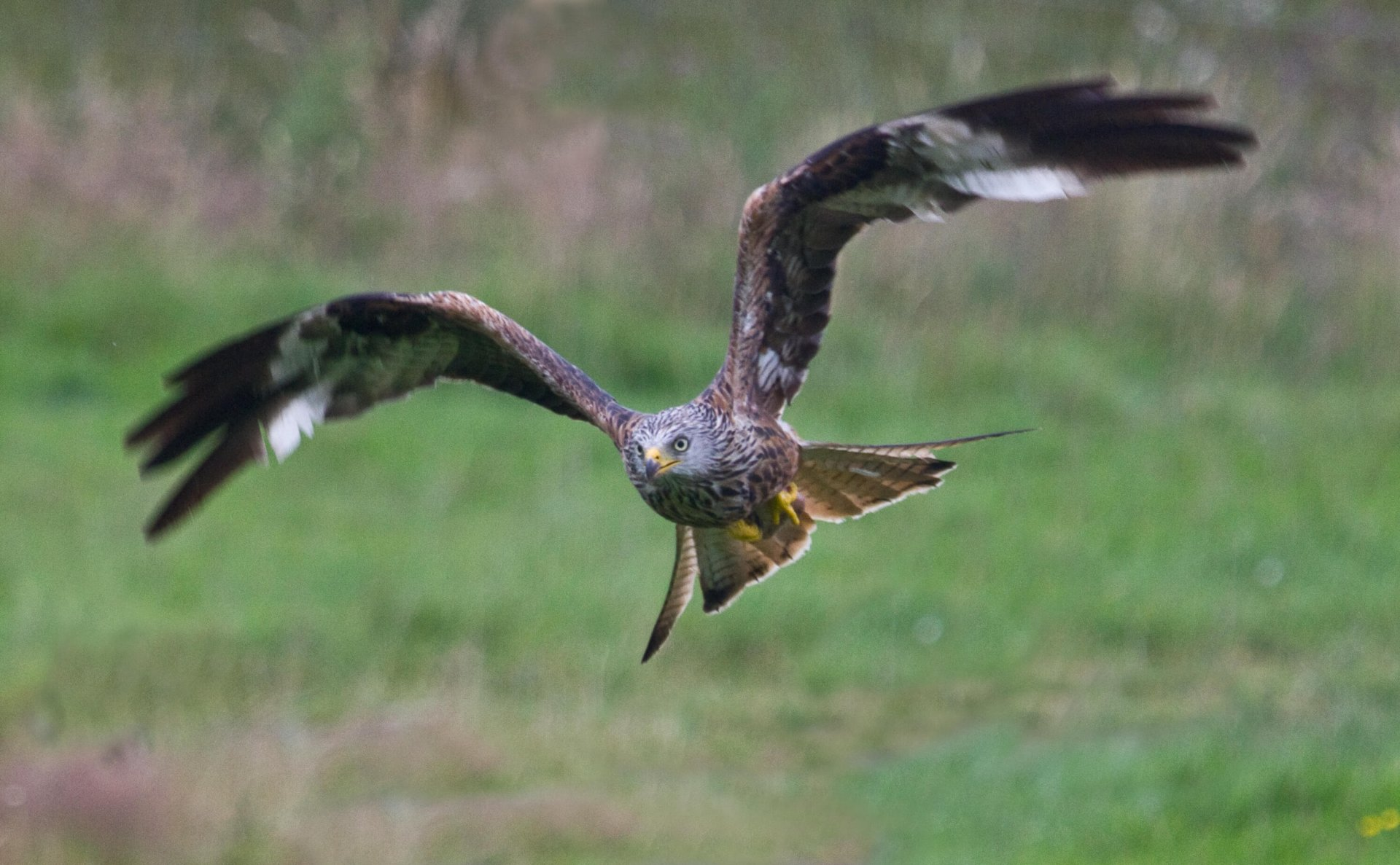 The Red Kite's recovery provides a message of hope © Richard Towell
