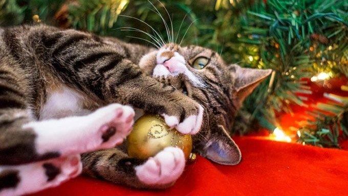 cat holding ornament