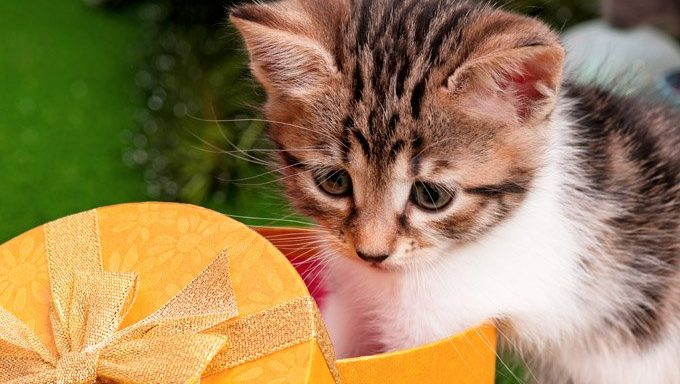 kitten playing with christmas gift box