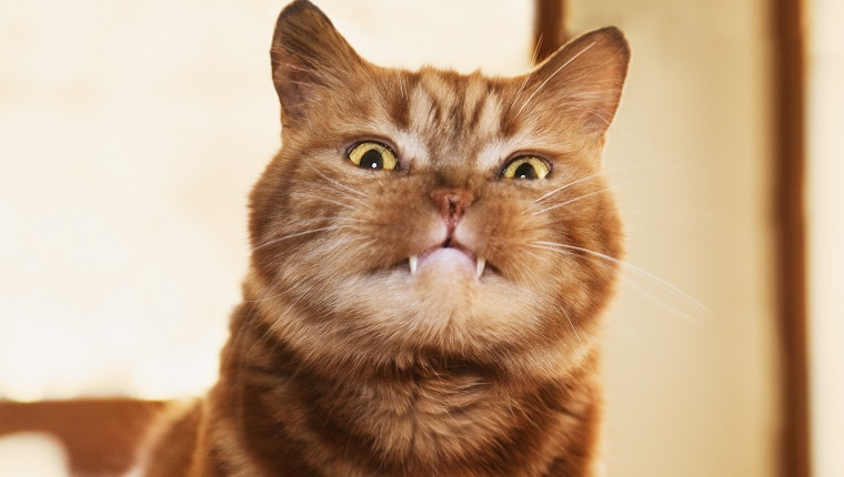 A British shorthair cat with fangs sticking out of his mouth staring at the camera