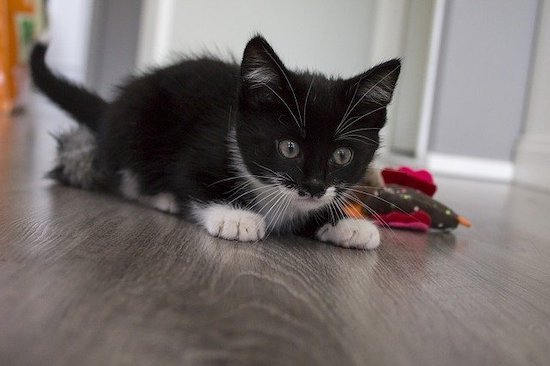 black and white kitten playing