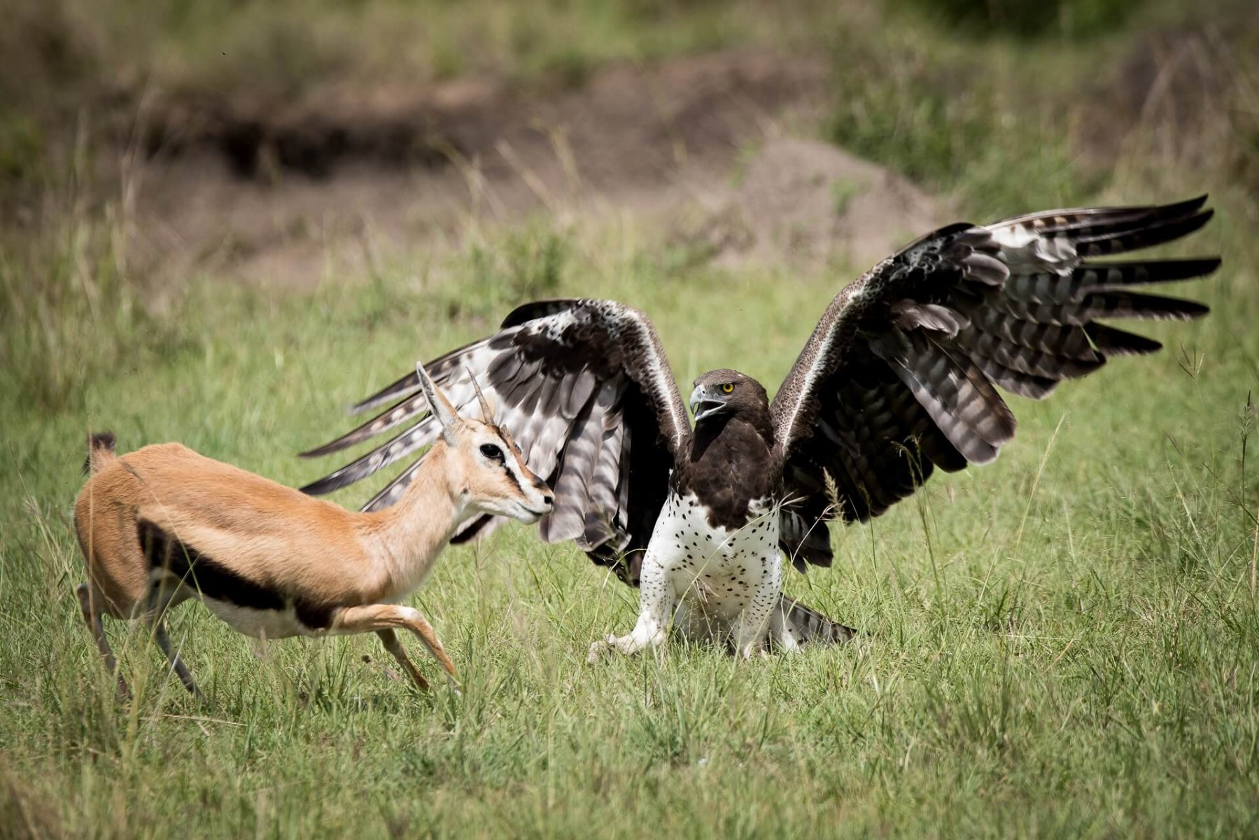 Lack of wild prey is a growing problem for the Martial Eagle © Dennis Stewart / Shutterstock