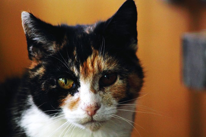 Calico cats are almost always female.