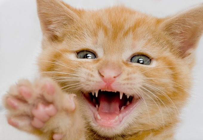 An adult cat has 30 adult teeth.