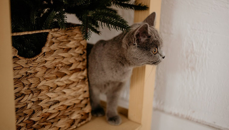 British cat hiding behing wicker box and Christmas tree.