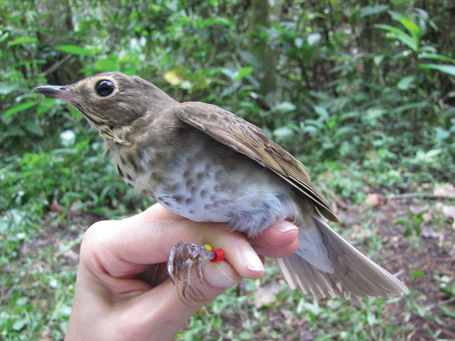 IMPACTS: Research using Motus stations uncovered new information about the migratory habits of Swainson's Thrush and its journeys from South America to Canada. Photo by Ana M. González
