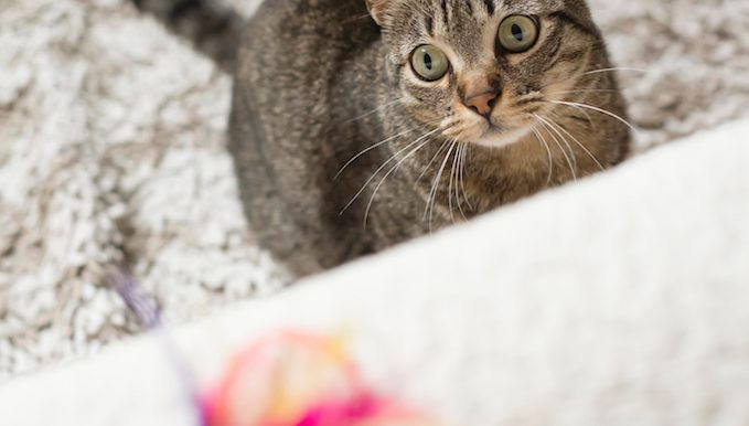cat looks at feather toy