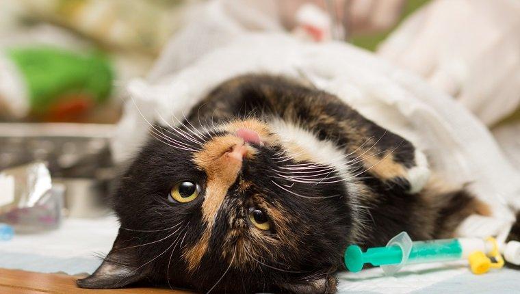 Veterinariya.Sterilizatsiya cats. Cat under anesthesia.