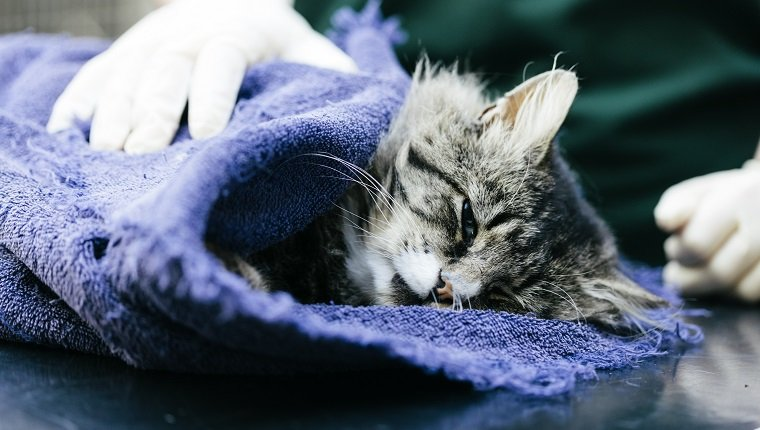 A Veterinary Nurse caring for a cat in a Veterinary Hospital. It is suspected to have been hit by a car. The cat is under anaesthetic.