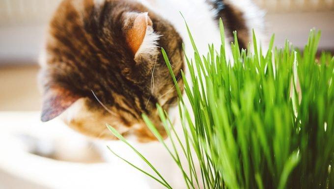 Grow Catnip And Wheatgrass