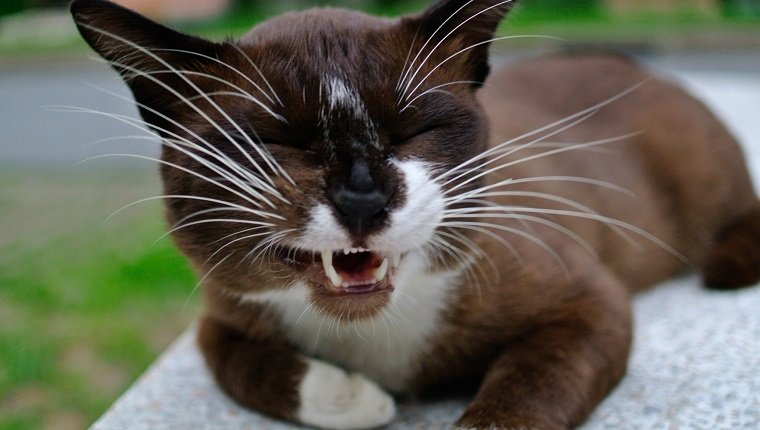 Domestic Cat Lying Down Outdoors And Meowing