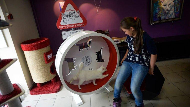 Cat on exercise wheel