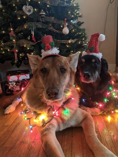 A brown German Shepherd mix and Black Flat-Coated Retriever mix laying on a hardwood floor in front of a Christmas tree, wearing red glittery Christmas hats and wrapped in colourful Christmas lights