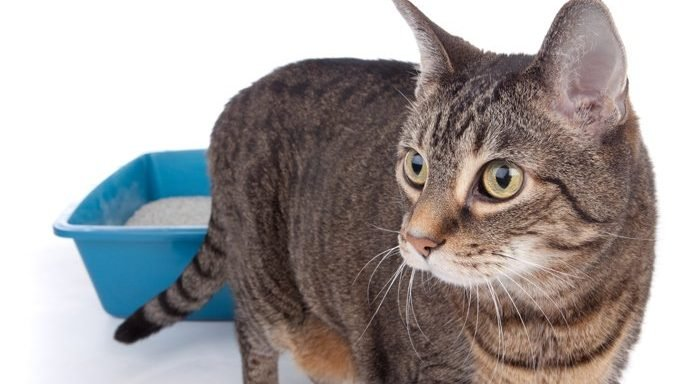 cat standing in front of litter box