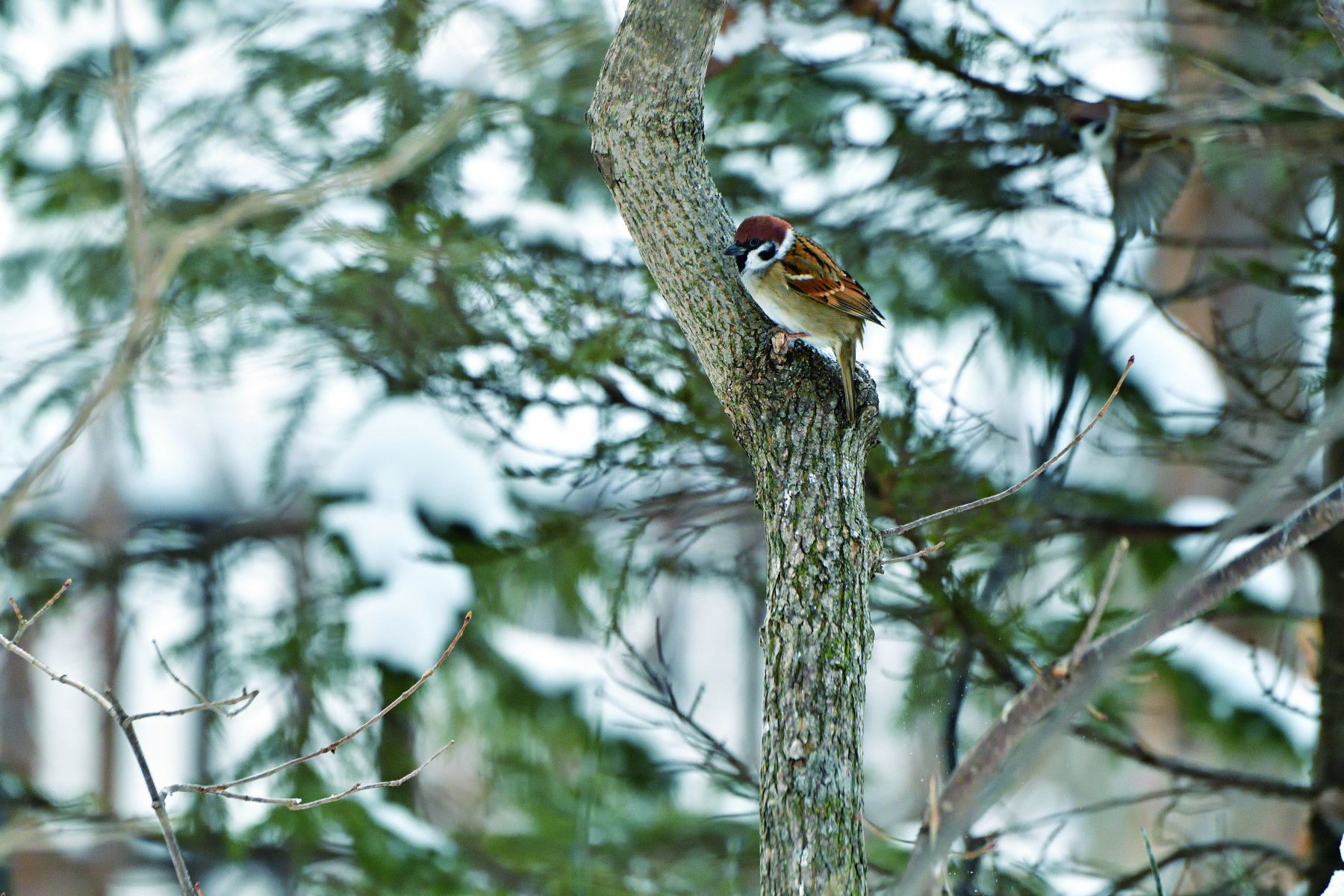 "Birdwatchers use the tree sparrow as ""a ruler bird"" when they indicate the size of other birds © HIH Princess Takamado"