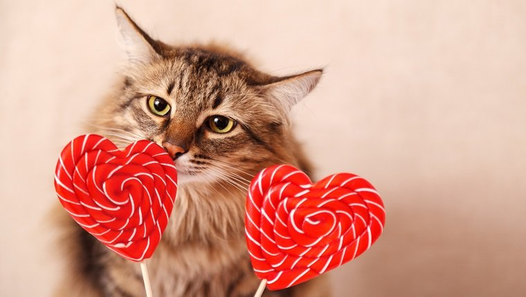 Valentine's day background. Beautiful fluffy cat sniffs a heart-shaped Lollipop on a beige background, close-up. Greeting card.