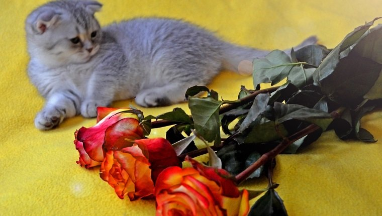 Little cute kitten lies on a yellow plaid near a bouquet of beautiful roses.