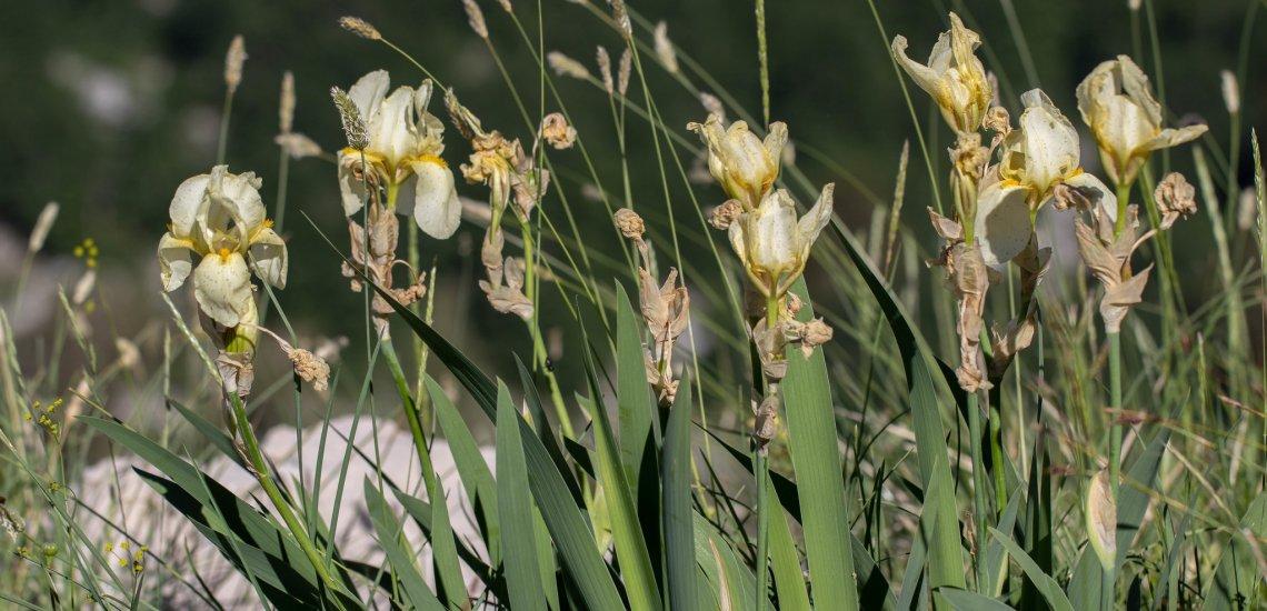 The rare endemic Orjen Iris <br> © Mihailo Jovićević
