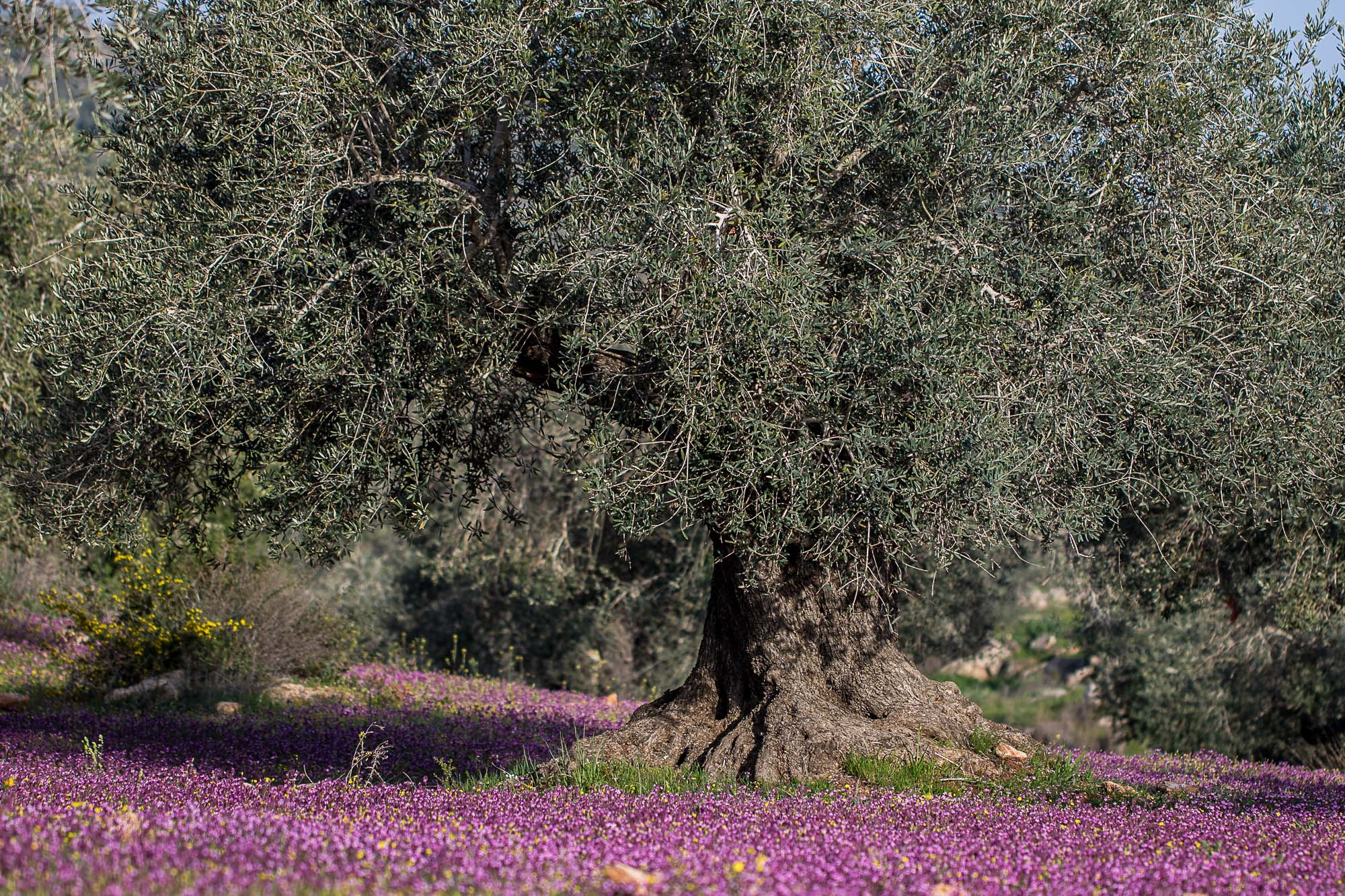 Ancient Olive Orchards in Palestine - © Ahmad Al Omari