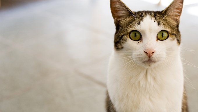 Scorpio Cat (October 23 - November 22)