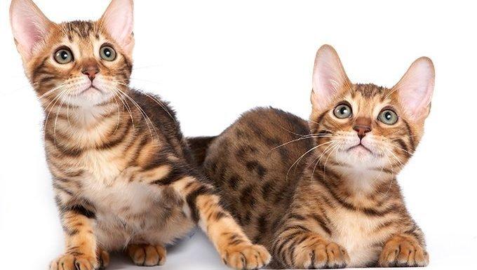 Gemini Cat (May 21 - June 20)