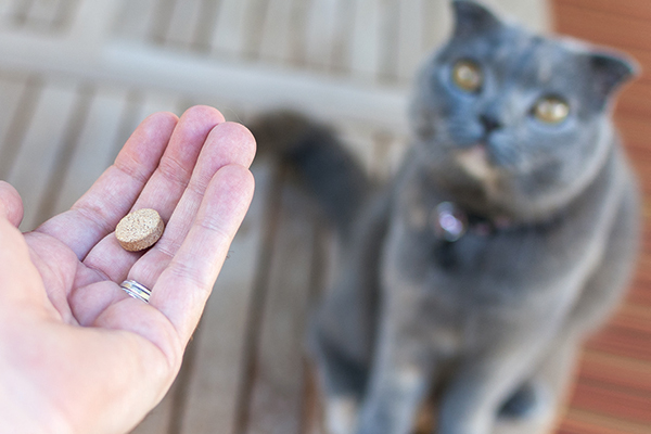 A gray cat ready to take a pill from a human.