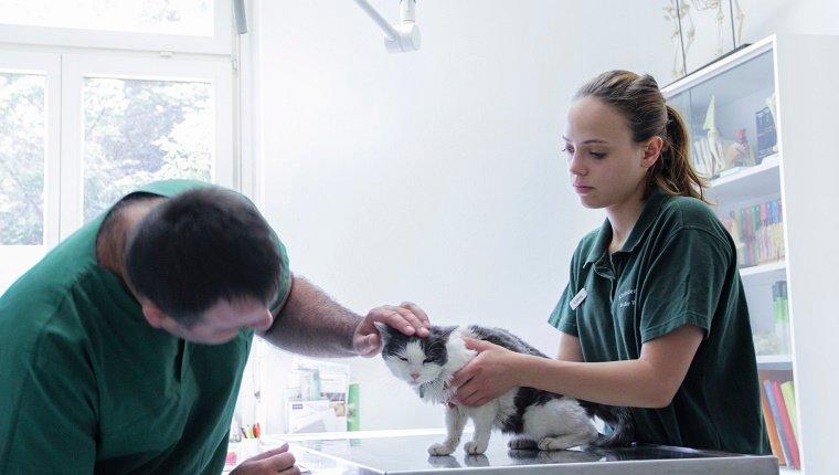 Vet examining a cat.
