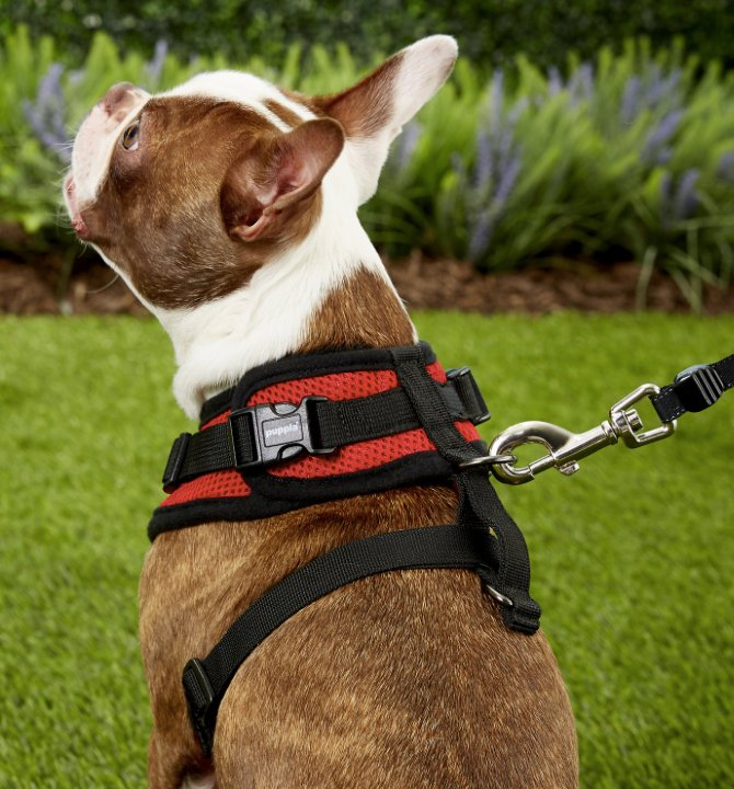 French Bulldog in red Puppia dog harness