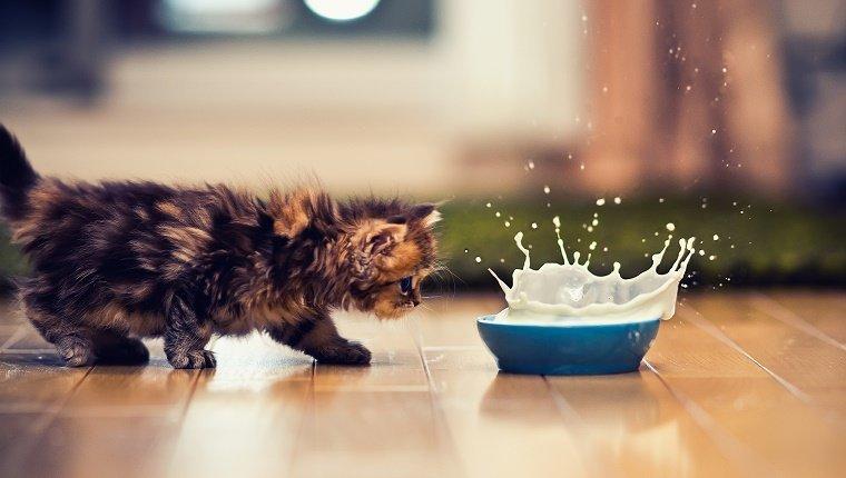 Kitten and bowl of milk