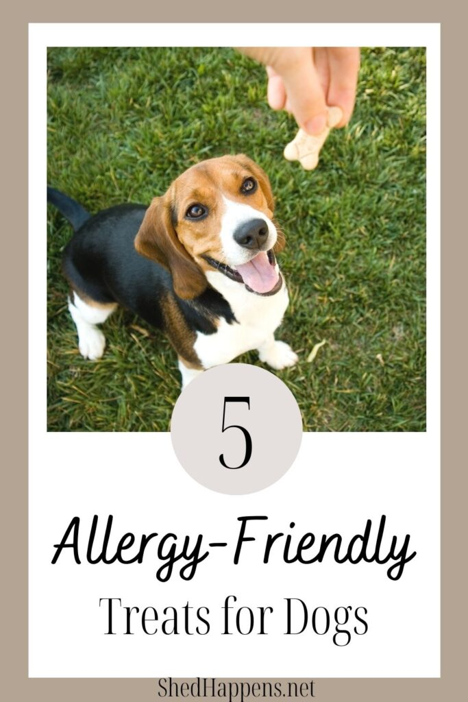 A small black, brown and white beagle dog is standing in the grass, looking up at an outstretched hand holding a dog treat. Text states 5 allergy-friendly treats for dogs.
