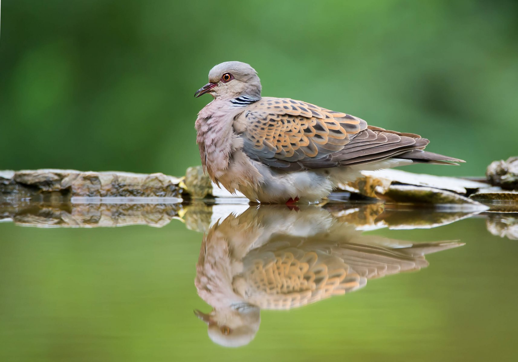 Current levels of European Turtle-dove hunting could drive the species to extinction © BirdLife Europe