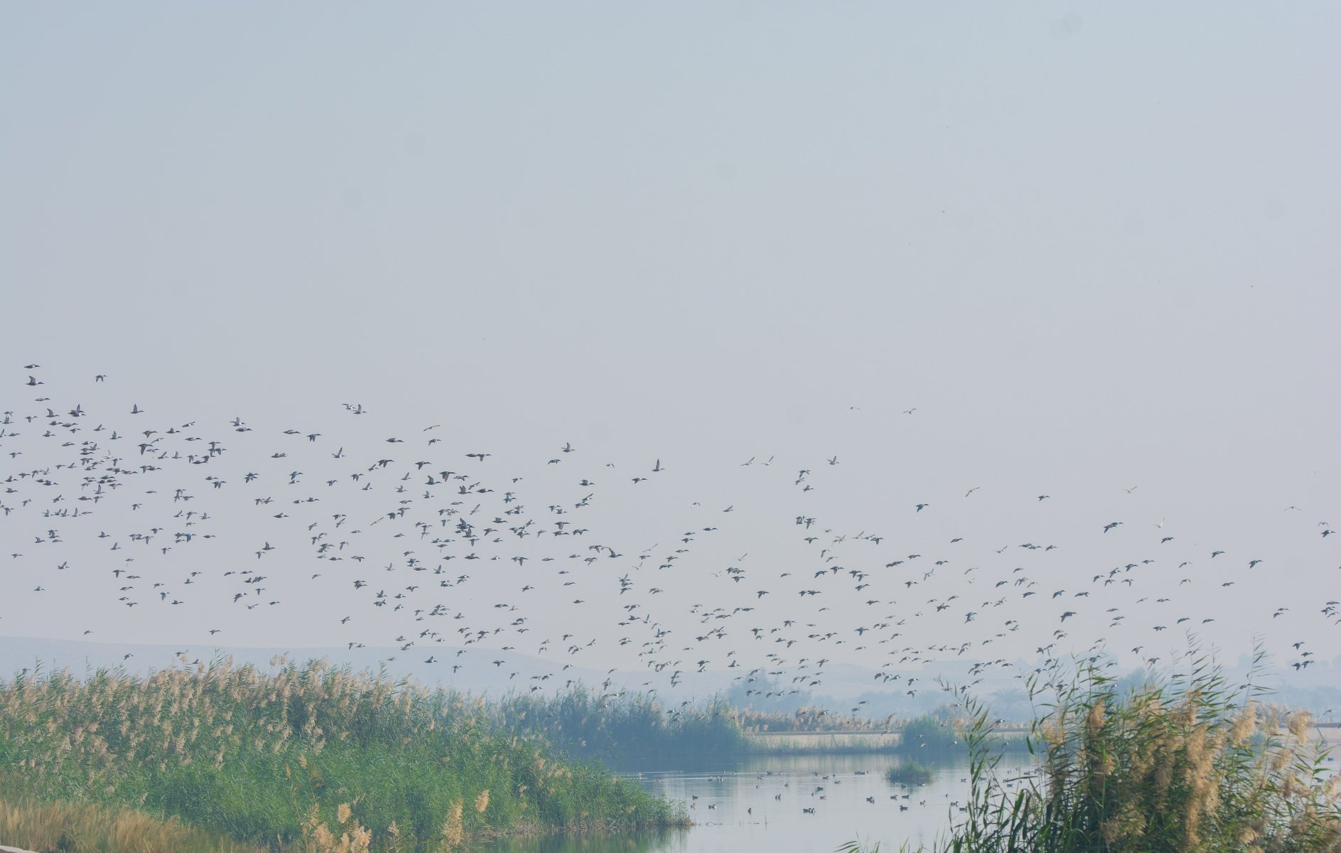 A Flock of Northern Shoveler in a waste water treatment station in Luxor © Mohamed Wakry