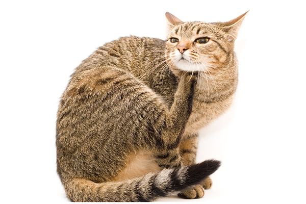 You may be able to prevent scabs on cats before they happen. A brown tabby cat itching.