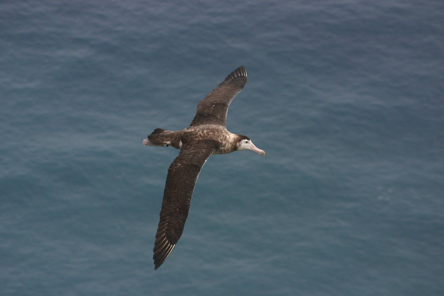 Only the Amsterdam Albatross' breeding grounds are currently protected © Vincent Legendre