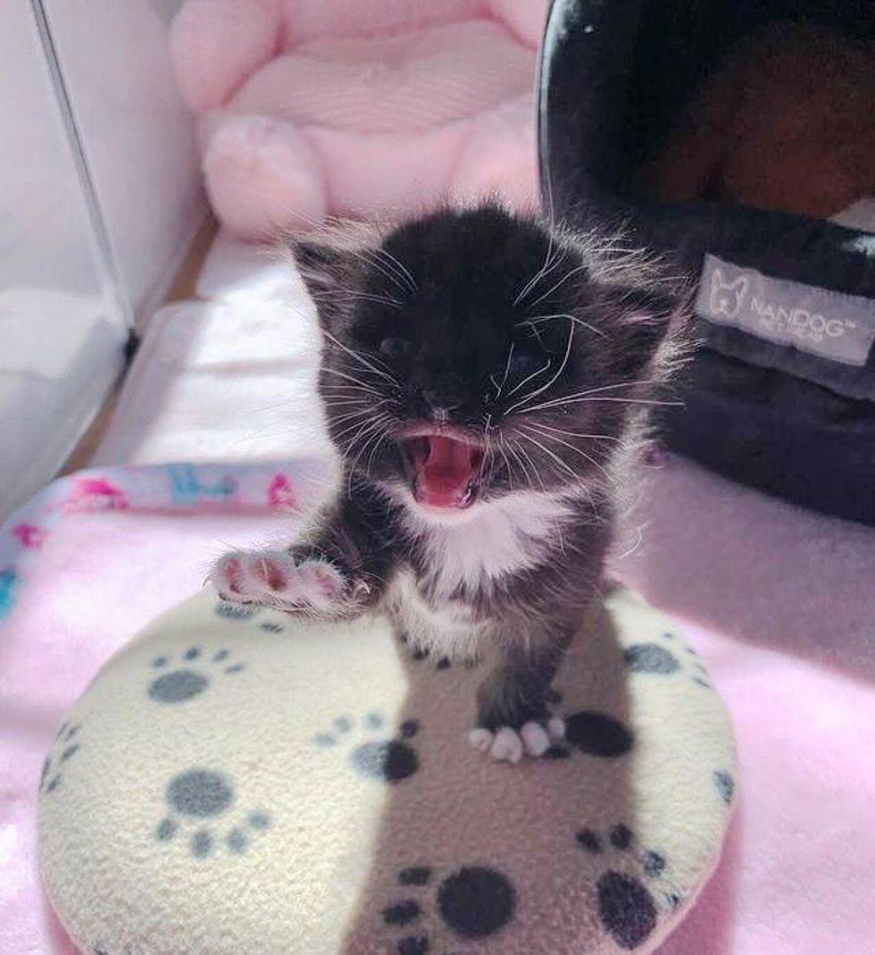 vocal, talking cat, tuxedo kitten, paws