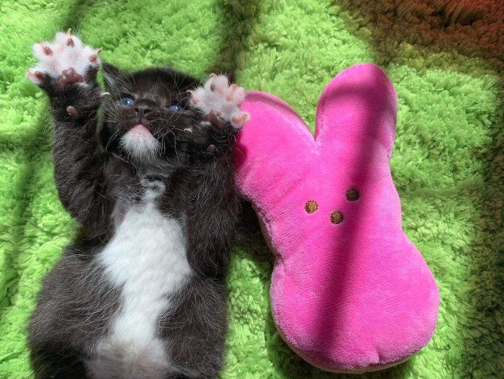 easter bunny, tuxedo kitten, paws, mittens