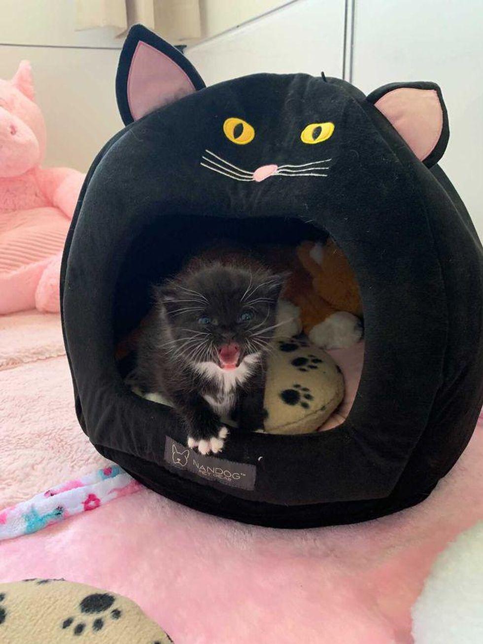 tuxedo kitten, talking cat, princess peep