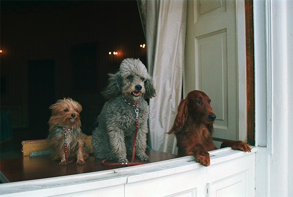 Nixon's three dogs looking out over half-wall