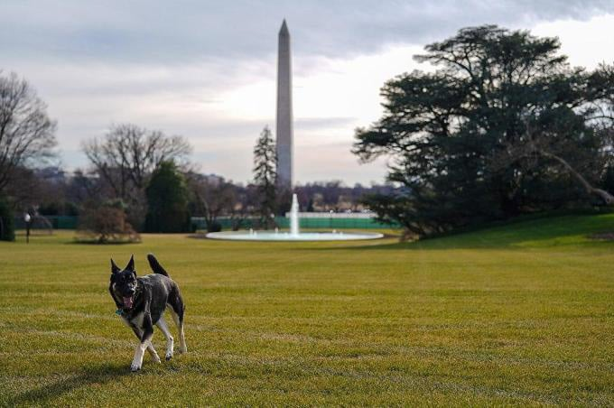 Major, a German Shepherd, walking with the Washington Monument in the background