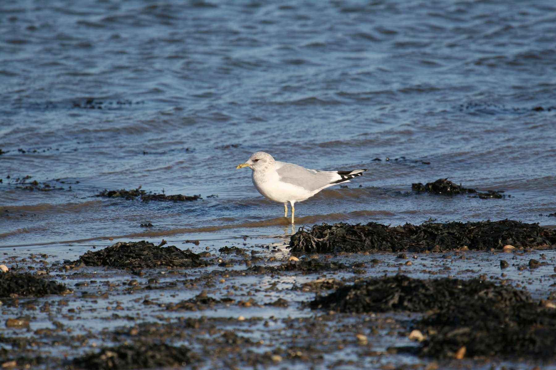 Common Gull  ©Ronnie Martin