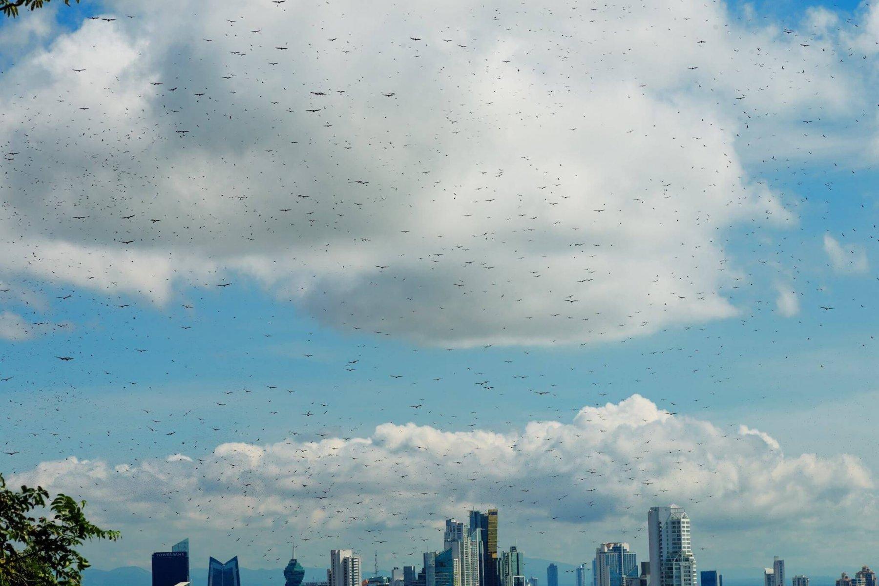 Raptors congregate in the skies above Panama City © Alvaro Moises