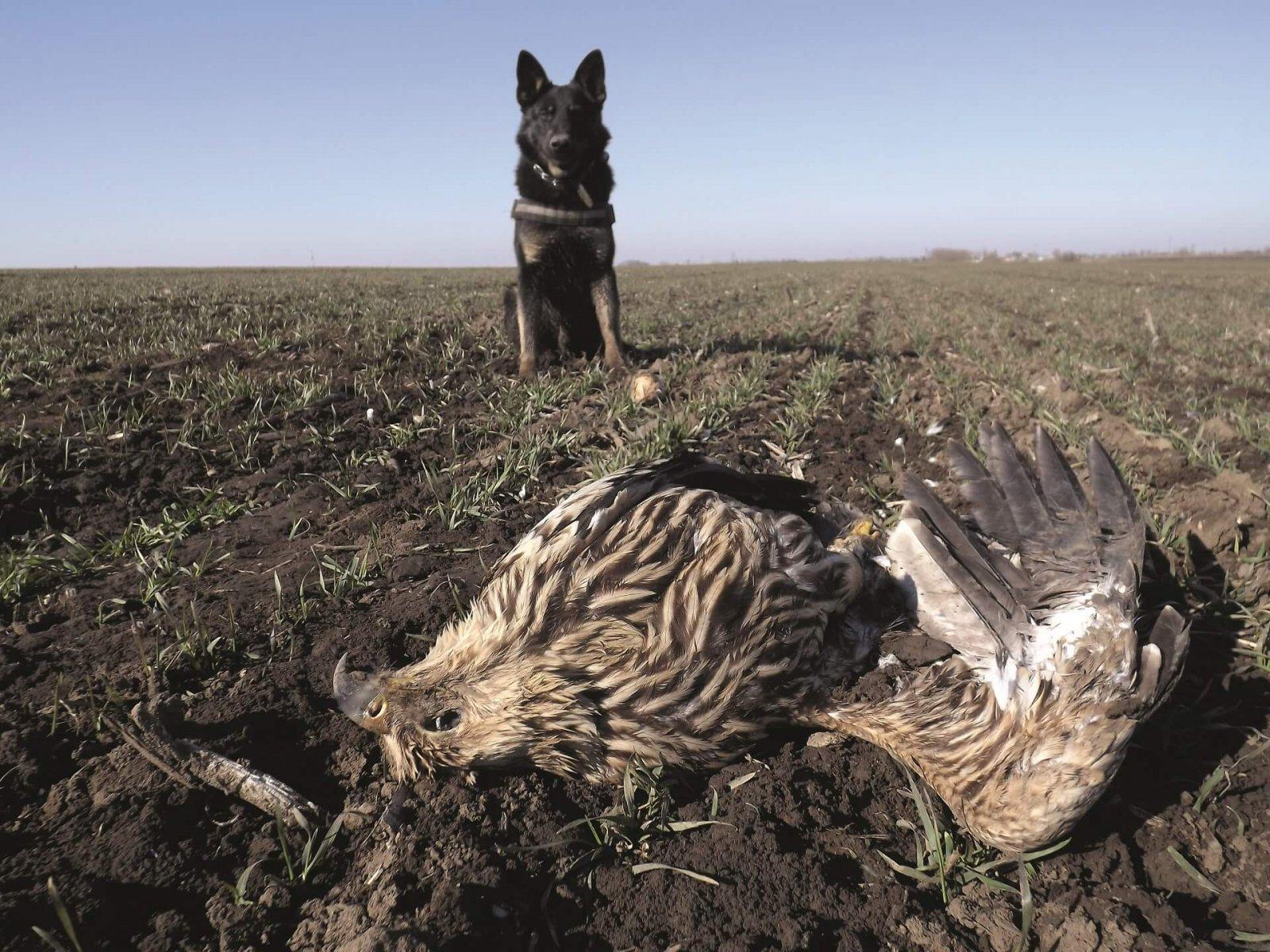 Falco finds a dead Imperial Eagle © Gábor Deák