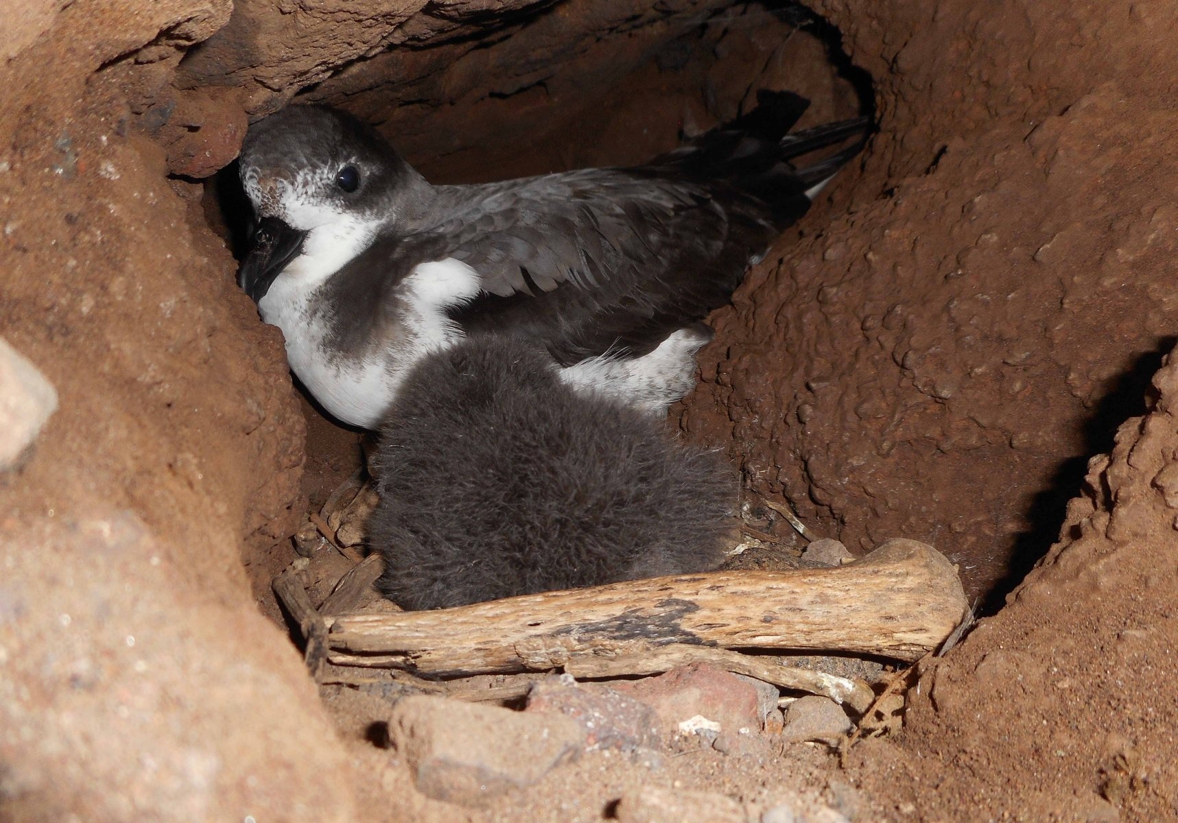 Searching for Cape Verde Petrel nests it is not an easy task due to their inaccessible location © Jacob Gonzalez Solís
