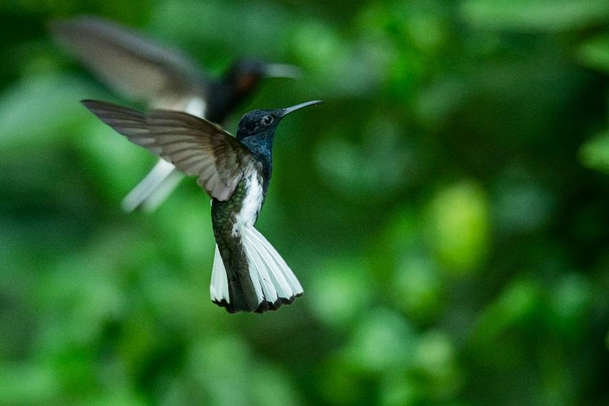The Black-fronted Jacobin is one of 9 hummingbird species in Serra do Urubu's restored forest © WWF/Humberto Tan