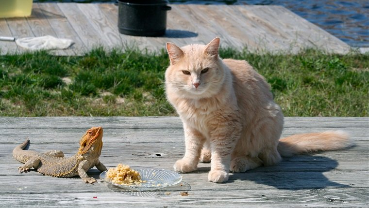 Cat and Bearded Dragon share a meal!